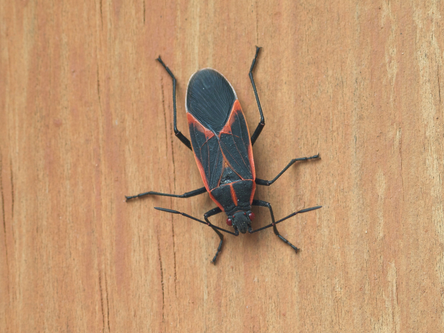Keep Boxelder Bugs Out of Your House